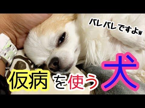 💖 散歩へ行かない為に平気で嘘をつく妹チワワ【かわいい】【犬】【chihuahua】【dog】