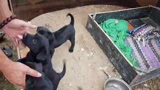 Chó Phú Quốc nhà ông anh, 3 eṁ đen tuyền