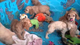Cocker Spaniel Puppies For Sale In Central Pennsylvania