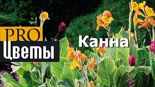 Канна (Canna) описание, выращивание, посадка и уход. Программа PRO Цветы (ПРО Цветы )