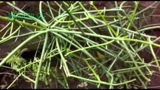 Obat Patah Tulang, Nyeri Sendi, Pinggang, Urat kejepit, reumatic, dan bisul - khasiat daun bakung.