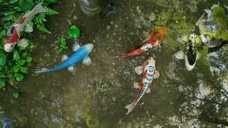 Ikan Koi Aneka Jenis dan Warna di Lantai Hutan - Life Wallpaper Hidup HD Plus Relaksasi Suara Air screenshot 3