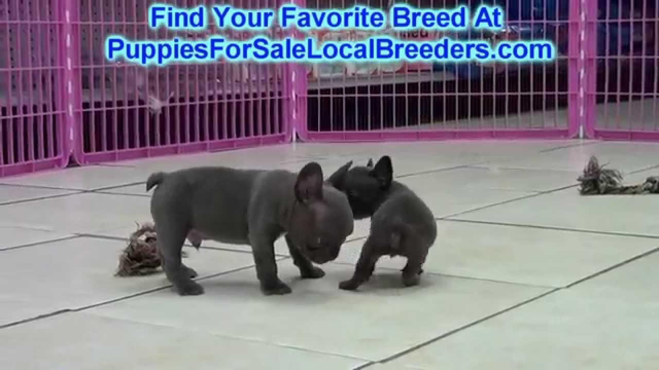 French Bulldog Frenchie Puppies For Sale In Saint Petersburg