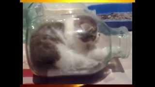 Коты и банка  Прикольное видео