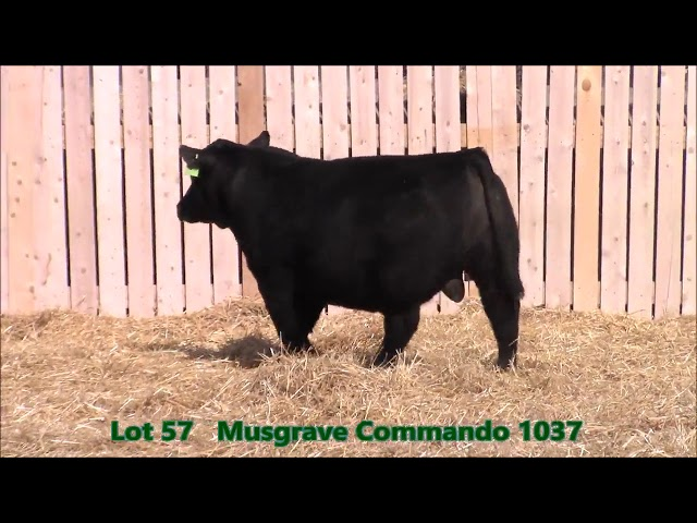 Musgrave Angus Lot 57