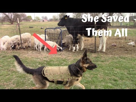 German Shepherd Guard Dog Saves Livestock From Wild Dog ATTACK!!!