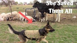 german-shepherd-guard-dog-saves-livestock-from-wild-dog-attack
