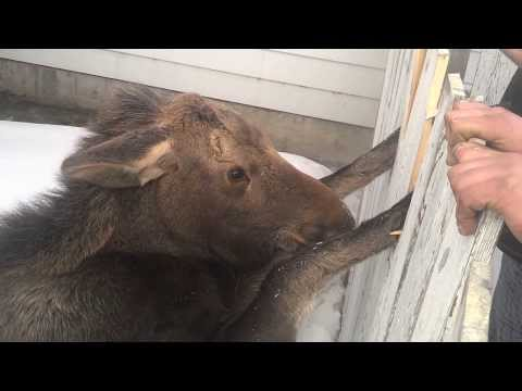 Baby Moose - caught in gate - 2014 02 10