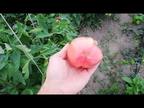 Детерминантный томат Вернер
