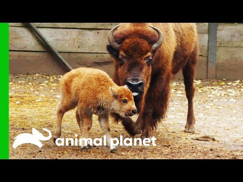 Newborn Baby Bison Gets Her First Medical Check-Up | The Zoo