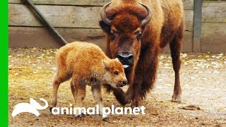 Newborn Baby Bison Gets Her First Medical Check-Up   The Zoo