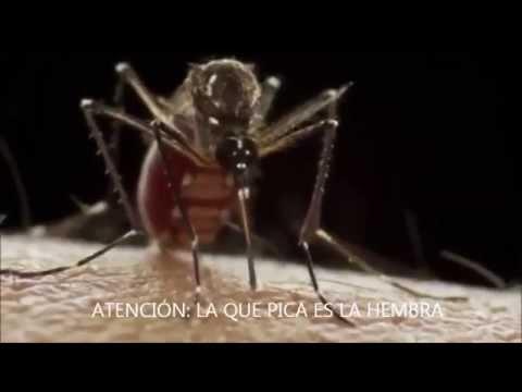 Sabes como pica el mosquito Aedes aegypti?
