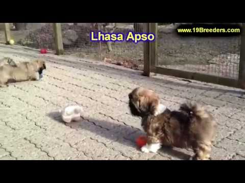 Lhasa Apso, Puppies, Dogs, For Sale, In Anchorage, Alaska, AK, 19Breeders, Fairbanks, Knik-Fairview
