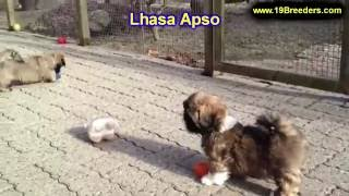 Lhasa Apso, Puppies, For, Sale, In, Anchorage, Alaska,AK, Fairbanks, Juneau, Eagle River