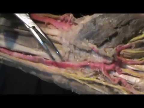 IRRIGACIÓN DEL MIEMBRO SUPERIOR. (bifurcación alta de la arteria ...