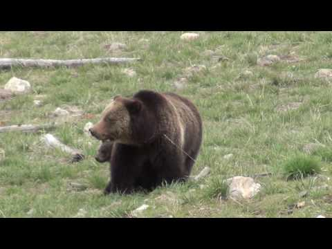 Mommy grizzly bear and two cubs at Yellowstone