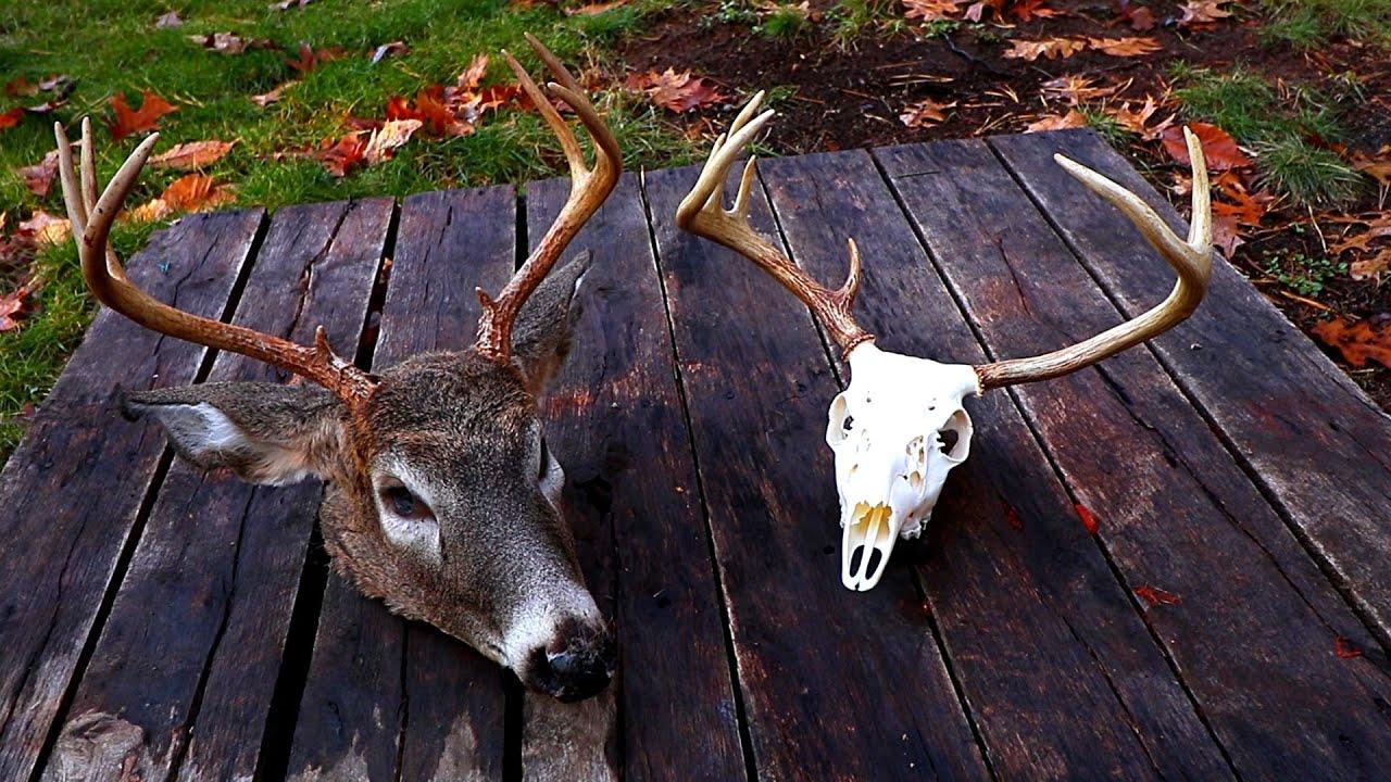 DIY European Mount for Deer (WHITE Skull!) - YouTube