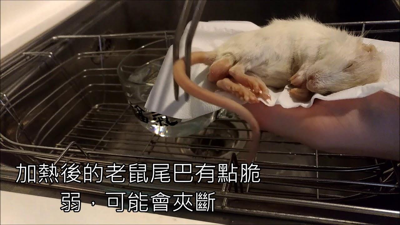 球蟒日誌12_新的冷凍老鼠餵食教學 - YouTube