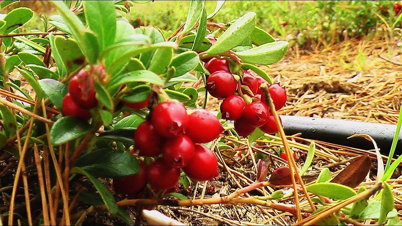 Выращивание саженцев голубики и клюквы - YouTube
