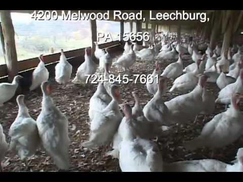 Turkeys by the Pounds