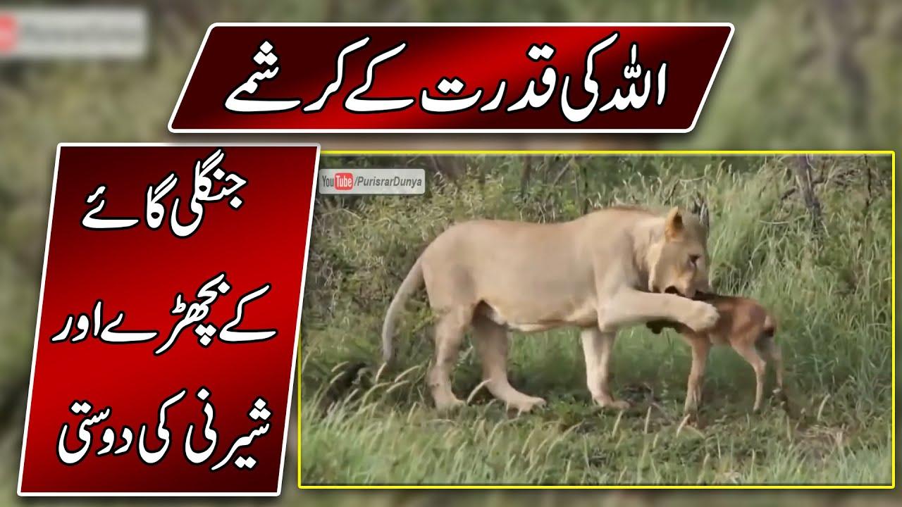 Amazing Animal Behaviour In Urdu - Animals Save Other Animals - Purisrar Dunya Urdu Documentaries