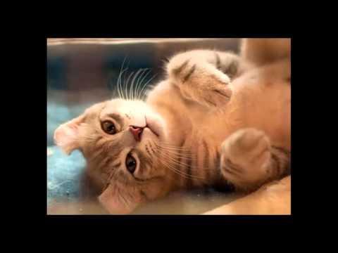 most beautiful cats / kedi cinsleri - amerikan curl / cat breeds - american curl