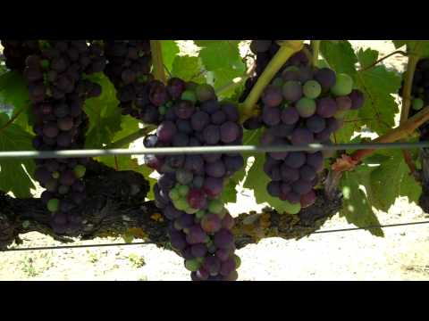 What it takes to grow world-class Zinfandel