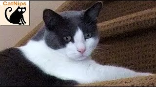 Lazy Cat Slides Down Stairs Like A Toy Slinky | CatNips