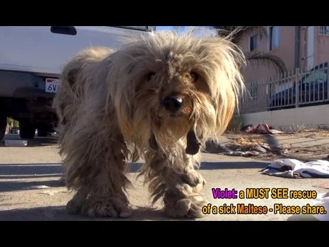 Hope For Paws: Violet - a MUST SEE rescue of a sick Maltese.  Please share and help find her a home.