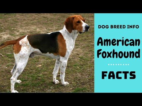 American Foxhound dog breed. All breed characteristics and facts about American Foxhound