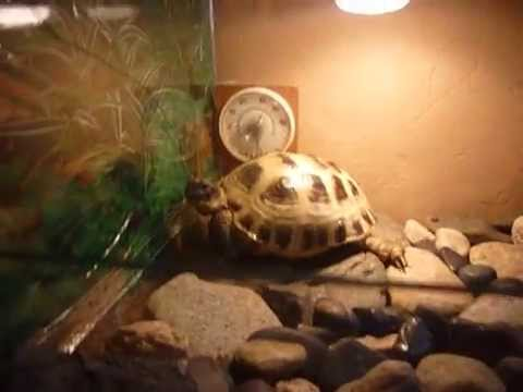 Как ухаживать за сухопутной черепахой, и как купать черепаху - YouTube