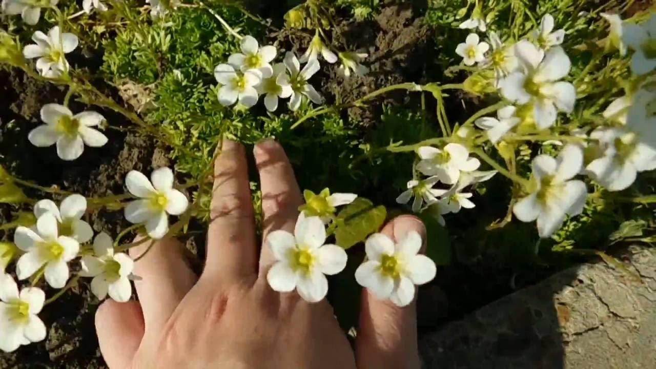 Камнеломка ! Выращивание дома и в саду !