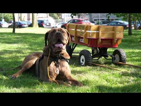 Rehabbing an Aggressive Mastiff