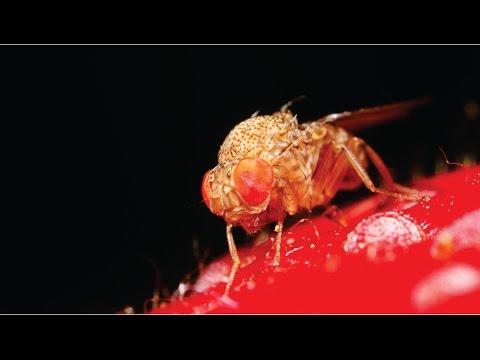 Sistema de Alerta - nova mosca preocupa produtores e pesquisadores