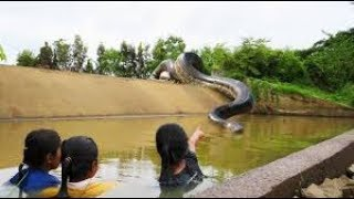 big snakes at canal while swimming  🐍 🐍 water snake 🐍  20171123 123846136