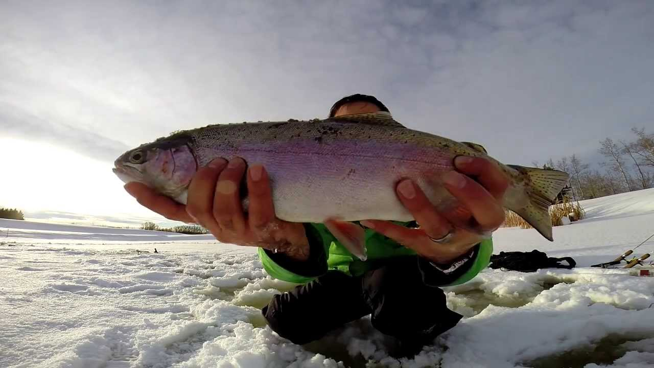 Huge rainbow trout ice fishing alberta jaw jacker and for Jaw jacker ice fishing