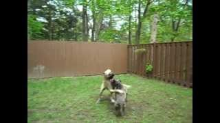American Pit Bull Terrier Vs Presa Canario