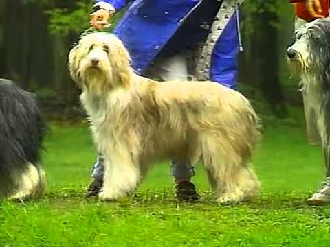 Bearded Collie - AKC Dog Breed Series