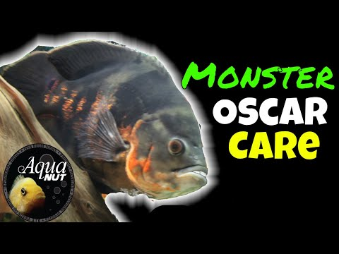 Oscar Cichlid Monster Fish Care 🐟 How To Keep, Care For Huge Oscar Fish