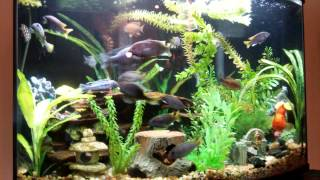 38 gallon bow front african cichlids