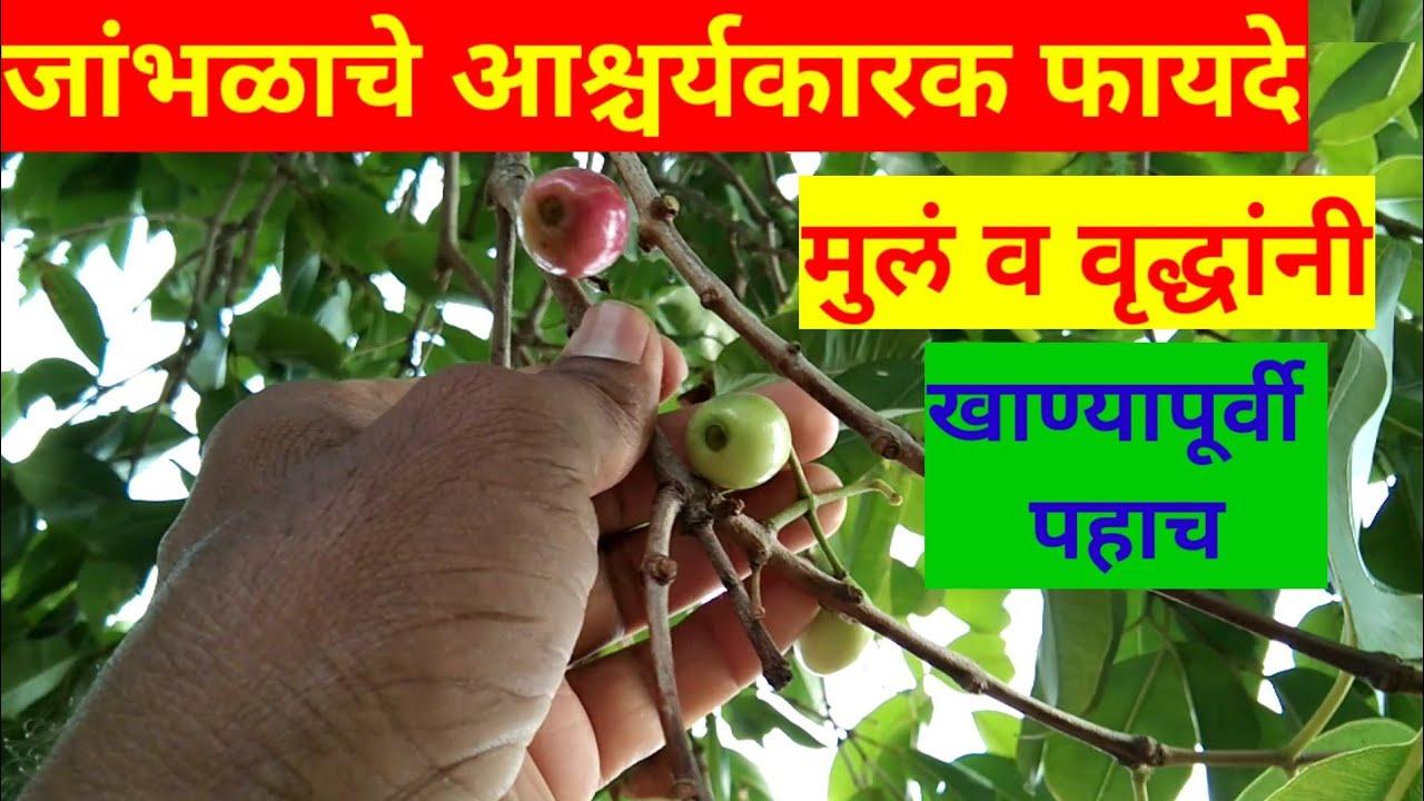 जांभळे खाल्ल्याने हे 17 रोग मुळापासून नष्ट होतात, jambhul khanyache fayde, जांभूळ खाण्याचे फायदे