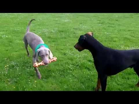 Weimaraner Sebastian, Doberman Dexter  at A & B Dogs Boarding & Training Kennels.