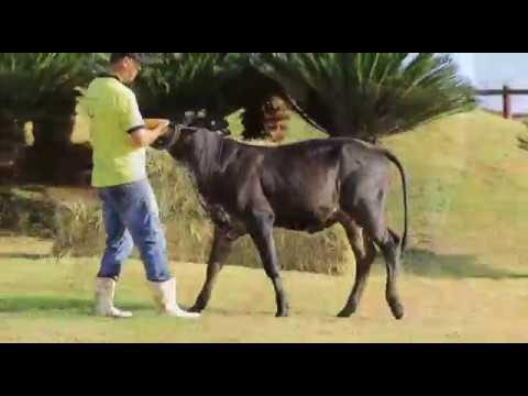 Lote 14   Girandola FIV da Minas Leite   6619 BD WADG 0927