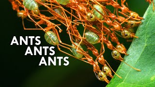 weaver-ants-these-ants-turn-themselves-into-chains-feat-antscanada
