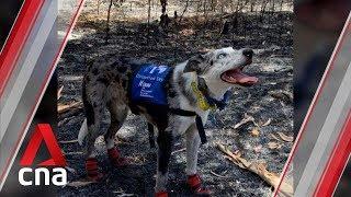 "Dog named ""Bear"" helps find koalas injured in Australia bushfires"