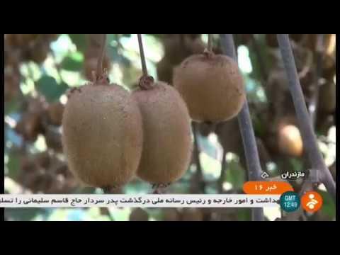 Iran Kiwi harvest, Abas-Abad county, Mazandaran province برداشت كيوي شهرستان عباس آباد مازندران