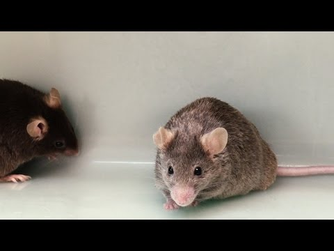Mice can still father babies without the Y chromosome