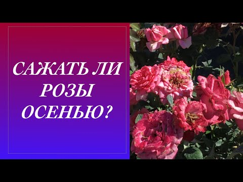 Как сажать розу осенью в открытый грунт