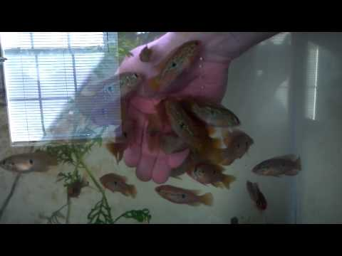 Jewel cichlids eating out of my hand