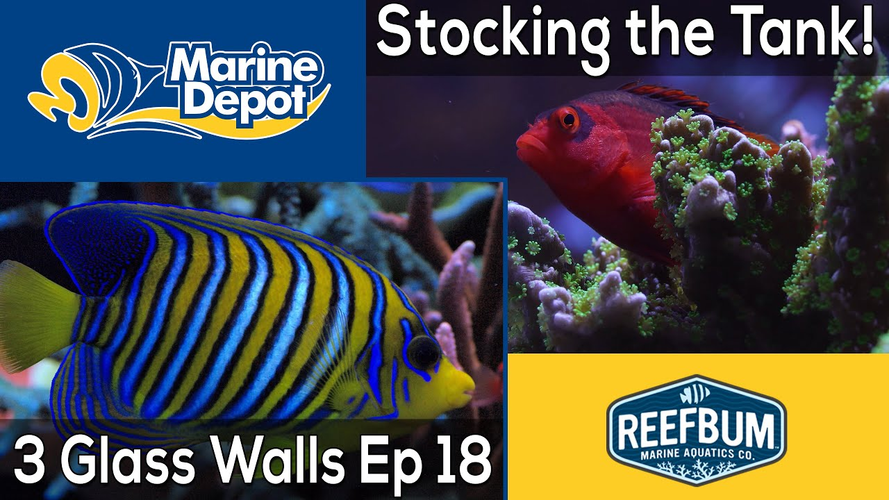 Stocking the Tank: 3 Glass Walls with Reefbum Part 18 Thumbnail